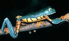 #The #Cruziohyla #Calcarifer. Can be found throughout Central America and northern South America. This sleek amphibian has several uniquely distinctive traits. One such feature includes the two colors in its eyes. It also has striking coloration and grasshopper-ish arm and leg structures.
