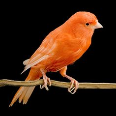 Red Factor Canary