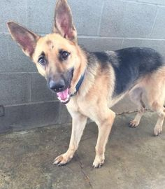 Meet Adopt Me!, an adoptable German Shepherd Dog looking for a forever home. If you're looking for a new pet to adopt or want information on how to get involved with adoptable pets, Petfinder.com is a great resource.