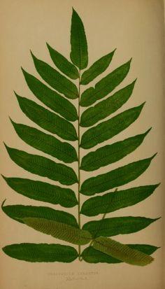 Polypodium palustre.