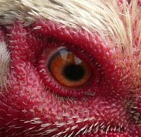 Living the Reasonably Good Life: Chicken doctoring: Part I. Eye infection and egg-b...