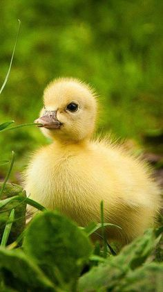 A one-day-old duckling, taken at a local farm. There were 5 adorable baby ducks on this farm, so of course I couldn't take enough pictures! Cute Ducklings, Duck And Ducklings, Cute Little Animals, Cute Funny Animals, Bird Pictures, Animal Pictures, Beautiful Birds, Animals Beautiful, Farm Animals