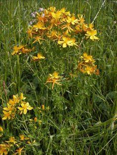 Medicinal Herbs, Flowers, Plants, Blog, Net, Walkway, Medicine, Spices, Gardening