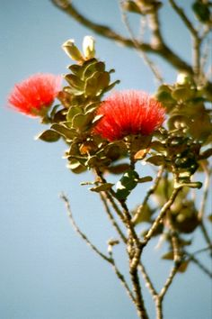 The tree itself is referred to as an ʻōhiʻa tree, and the blossoms are called lehua flowers. Metrosideros polymorpha - Wikipedia, the free encyclopedia Polynesian Islands, Hawaiian Islands, Hawaiian Goddess, Hawaiianisches Tattoo, Flower Close Up, Hawaiian Tattoo, Hawaiian Flowers, Flowering Trees, Animal Tattoos