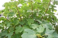 Pruning Fig Trees: Like other plants, pruning established trees is healthy for them. It results in a bigger crop. Prune fig trees in the fa. Fruit Garden, Edible Garden, Garden Plants, Growing Fig Trees, Growing Plants, Fig Bush, Trees To Plant, Plant Leaves, Dwarf Fruit Trees