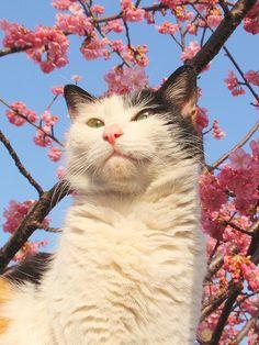 Sakura cat by tanakawho, via Flickr