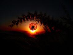 Dandelion - Eye of sauron :-)