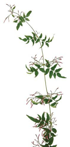 jasmine vine wholesale