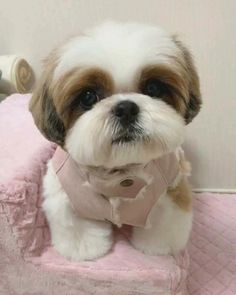 Shitzu Puppies, Cute Puppies, Dogs And Puppies, Cute Baby Dogs, Cute Baby Animals, Shih Tzu Puppy, Shih Tzus, Dog Haircuts, Dog Grooming