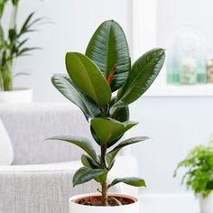 Buy rubber plant Ficus elastica 'Robusta': Delivery by Waitrose Garden in association with Crocus Ficus Elastica, Indoor Plant Wall, Indoor Plants, Household Plants, Rubber Tree, Room With Plants, Purifier, Plant Needs, Plant Care