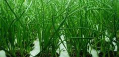 Выращивание зеленого лука: достоинства зелёных листьев, рекомендации по выращиванию лука на зелень  Выращивание зеленого лука – это простое и прибыльное занятие. Листья имеют нежный вкус, содержат большое количество витаминов, укрепляют здоровье. Выращивание лука на зелень может проводиться в открытом грунте и в теплице, летом и зимой.  Технология выращивания зелёного лука в теплице  Те, кто хотят заняться выращиванием зелёного лука в теплице, могут быть уверенны в том, что это несложное…