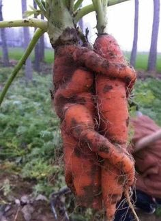Carrots are good for you! Weird Fruit, Funny Fruit, Weird Food, Funny Vegetables, Root Vegetables, Fruit And Veg, Fruits And Veggies, Weird Trees, Weird Plants