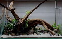 14.10.Wood Aquarium Setup, Live Aquarium Plants, Nature Aquarium, Aquarium Design, Aquarium Fish Tank, Live Plants, Aquarium Sand, Discus Aquarium, Fish Aquariums