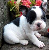 french bulldog baby