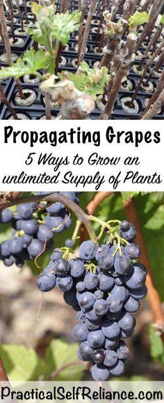 How To Prune Grape Vines For Fruit Development How To Prune Grape Vines For Fru. How To Prune Grape Vines For Fruit Development How To Prune Grape Vines For Fruit Development