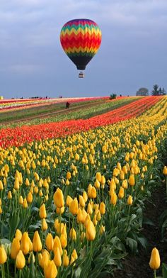 TULIPS : Tall red and yellow tulips   LOCATED IN LISSE NETHERLANDS,