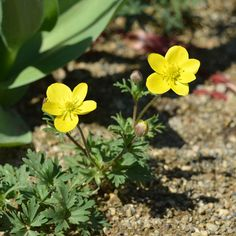 Anemone gortschakowii Kar. & Kir. Seeds For Sale, Plants, Plant, Planting, Planets