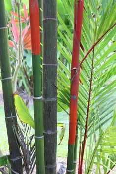 Green Bamboo from Hawaii