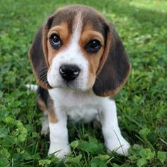 6bf07528c 86 Best puppies images in 2018   Cute Dogs, Doggies, Cats