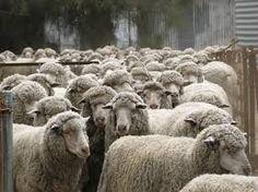 Image result for sheep merino wool