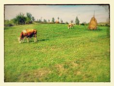 Grazing cows in Dobricel, Bistrita, Transylvania
