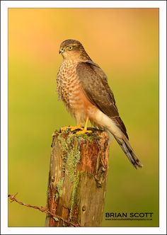 Sparrowhawk by Brian Scott on 500px