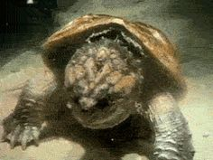 Snapping turtle burps, shows off its lunch. little movie clip for stephen.