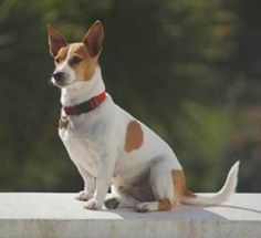 Jack Russell Terrier just like mine pointy ears and all lol