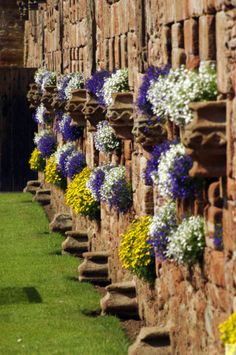 White and blue lobelias in the wall recesses in Edzell Castle garden #nature #gardening