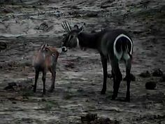 Momma waterbuck with young baby at Tembe on Africam.com