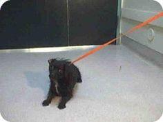Pasadena, CA - Miniature Schnauzer Mix. Meet A368299, a dog for adoption. http://www.adoptapet.com/pet/11943897-pasadena-california-miniature-schnauzer-mix