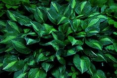 Hosta 'Strip Tease' Hosta Plants, Hosta Flower, Hosta Varieties, Shade Flowers, Ground Cover Plants, Grass Seed, Ornamental Plants, Flower Seeds, Plants