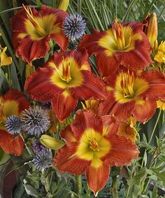 Loving this Live 'Passion for Red' Daylily - Set of Three on #zulily! #zulilyfinds