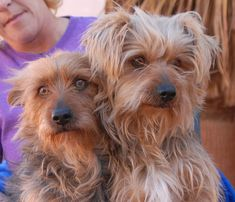 Cheese & Fluff (the names they arrived with) are comical young brothers, Yorkshire Terriers, debuting for adoption this morning at Nevada SPCA (www.nevadaspca.org).  They boys are 3 years of age, neutered, housetrained, and compatible with dogs and older kids.  Cheese & Fluff are very strongly bonded, so splitting them up is out of the question.  Please help find them a wonderful, loving, lifelong home.