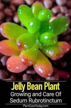 Sedum Rubrotinctum (jelly bean plant) a sedum species, flat clusters, beautiful reddish hue, needs plenty of natural sunlight, fast grower.