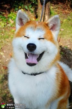 Smiling Akita ~ Such a beautiful dog! ♥