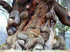 Tree that is on the grounds of Ripley Castle in Harrogate, England