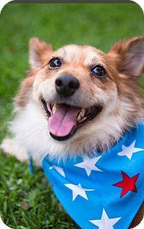 Santa Barbara, CA - Corgi/Pomeranian Mix. Meet Cory, a dog for adoption. http://www.adoptapet.com/pet/13276532-santa-barbara-california-corgi-mix