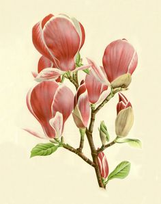 Vintage magnolia art print Antique prints Wall art Modern vintage decor Flowers…