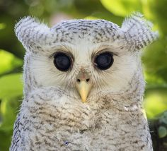Barred Eagle Owl (Bubo sumatranus)20161214 Palm Resort, Johor,Malaysia_7D25248 | von davidyct