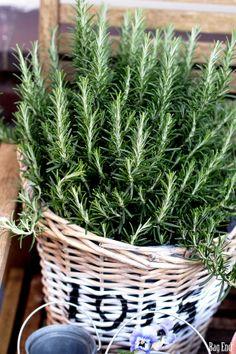 Rosemary / Rosmariini Rose Marie, Houseplants, Indoor Plants, Palace, Vineyard, Spices, Basket, Herbs, Touch