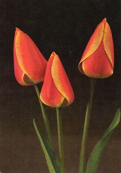Tulip «Oxford´s Elite»