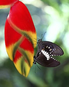 Mating butterflies, Philippines