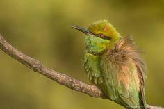 Green #bee-eater #wildindiaecotours #wildindia #photography #pench #birds #birdphotography #birdwatching #india http://ift.tt/2hz29nV