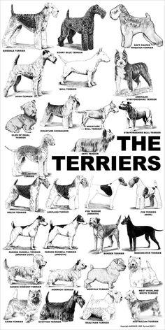 Aaronco Poster - The Terriers – Barkleigh Store Perro Fox Terrier, Sealyham Terrier, Terrier Dog Breeds, Wire Fox Terrier, Welsh Terrier, Wheaten Terrier, Jack Terrier, Scottish Terrier Puppy, Mini Bull Terriers