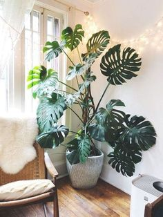 monstera is so much happier on his moss pole! : houseplants – my monstera is so much happier on his moss pole! Big Indoor Plants, Large Plants, Green Plants, Hanging Plants, Indoor Cactus, Summer Plants, Indoor Flowers, Outdoor Plants, Dulux Valentine