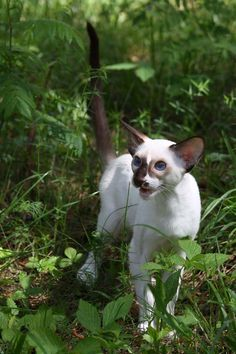 сейшельские окрасы | SiaOriMania — ориентальные, сиамские кошки — продажа котят. Сиаоримания.