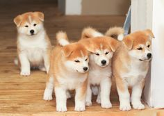 Four puppies of Japanese akita-inu breed dog. Four two months old puppies of Jap , Shiba Inu, Akita Inu Puppy, Akita Puppies, Cute Puppies, Dogs And Puppies, Rottweiler Puppies, Japanese Dog Breeds, Japanese Dogs, Baby Animals