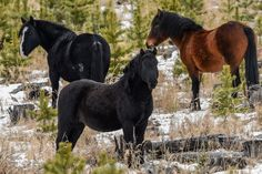 Wild horses in Alberta, Canada. Duane Starr, a self taught wildlife and nature photographer, has been capturing images for over 50 years – photographing landscapes, flowers, animals, and birds.  He is currently specializing in his exquisite work on owls.   Capturing the magic of the moment and true nature of his subjects, he is noted for his creativity, composition, and lighting.    Duane uses a Nikon D4s and D4 digital cameras with various VR lenses  ranging from              8mm to 800mm…