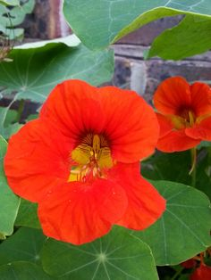 Nasturtium Flowers - My Wildlife Friendly Garden - These are planted next to composter for cabbage white butterflies to lay their eggs on, every year we are able to see the tiny caterpillars hatch and munch their way through most of the leaves. Also we've been lucky enough to see them emerge as new butterflies the following year.